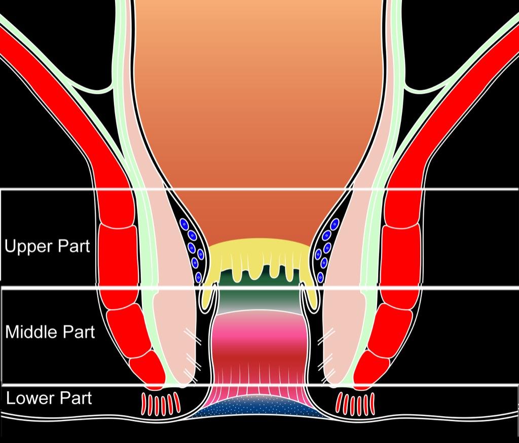 Ultrasonography of the Anal Region - Colon Explorer