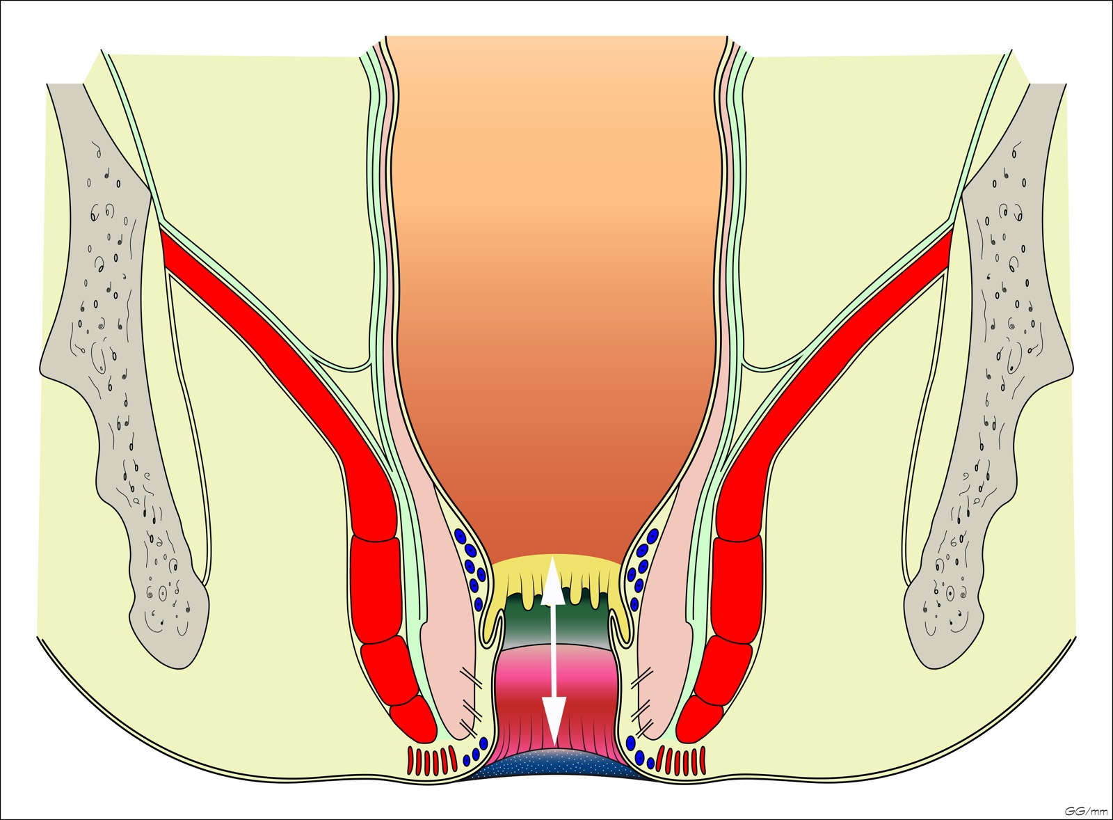 Anatomy Of The Anal Region Colon Explorer